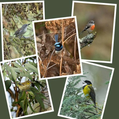 Fine Art Photography greeting cards of Tasmanian birds