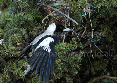 Australian Magpie nest building AM2