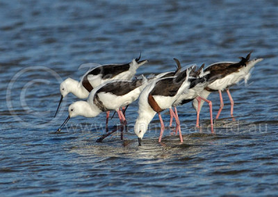 Banded Stilts BS1
