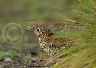 Bassian Thrush  BT2