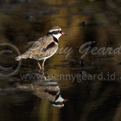 Black-fronted Plover male