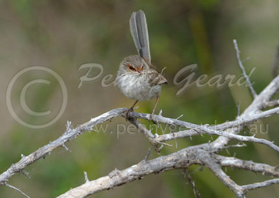 Blue Wren female SBW2
