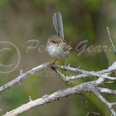 Blue Wren female