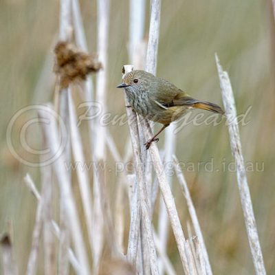 Brown Thornbill