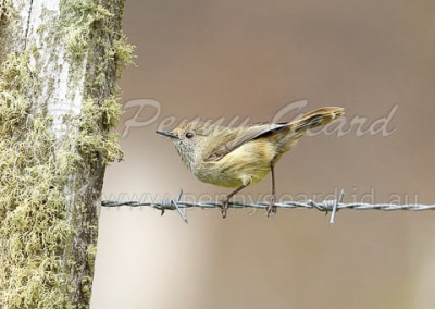 Brown Thornbill BTHB1