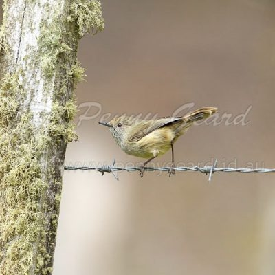 Brown Thornbill birds in Tasmania