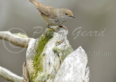 Brown Thornbill BTHB3