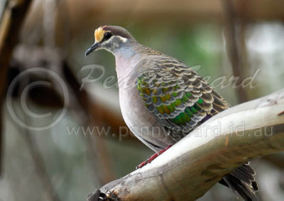 Common Bronzewing CBW1