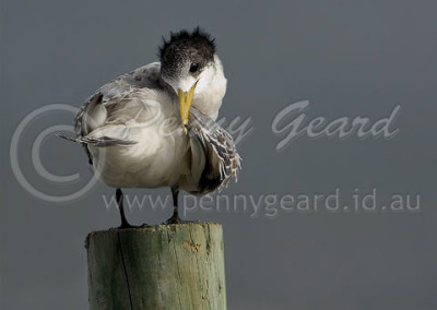 Crested Tern CRT1