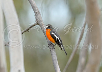 Flame Robin male FLR2