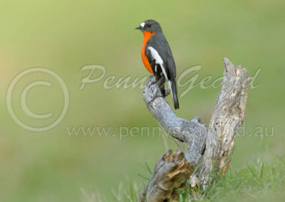 Flame Robin male FLR3