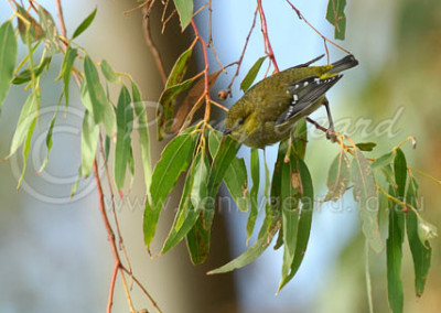 Forty-spotted Pardalote FSP1