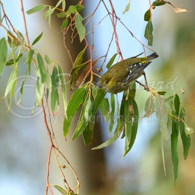 Forty Spotted Pardalote Tasmania