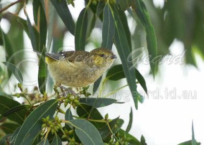 Forty-spotted Pardalote FSP8