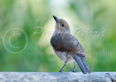 Grey Shrike-thrush juvenile