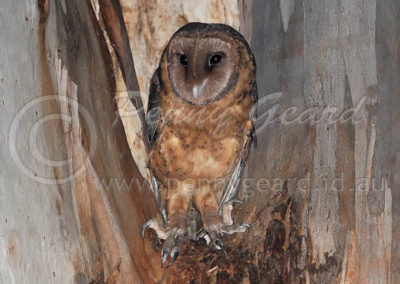 Masked Owl female MO1