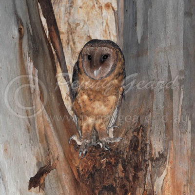 Masked Owl female