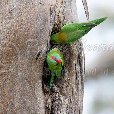 Musk Lorikeet birds in Tasmania