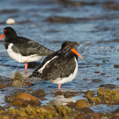 Pied Oystercatcher birds in Tasmania