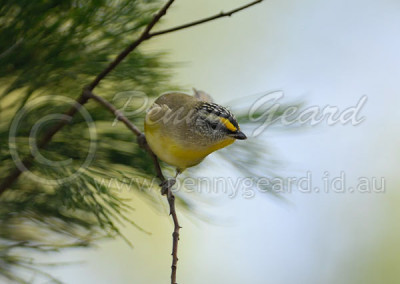 Striated Pardalote STP1