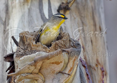 Striated Pardalote STP3