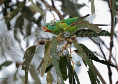 Swift Parrot SP1