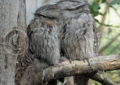 Tawny Frogmouth Pair TFM3
