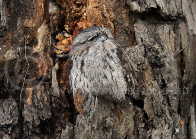 Tawny Frogmouth TFM4