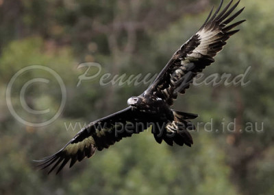 Wedge-tailed Eagle WTE4