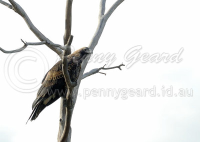 Wedge-tailed Eagle WTE5
