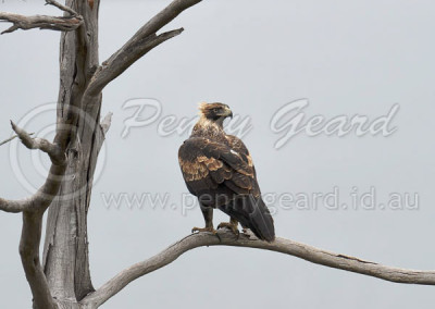Wedge-tailed Eagle WTE6