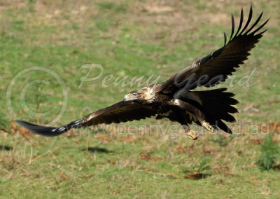 Wedge-tailed Eagle WTE8