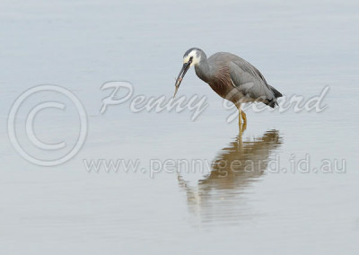 White-faced Heron WFH1