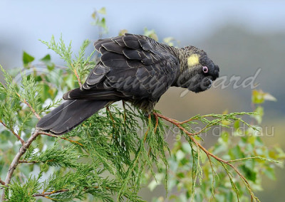 Yellow-tailed Black-cockatoo YTBC1