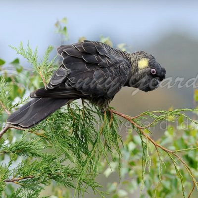 Yellow-tailed Black-cockatoo birds in Tasmania