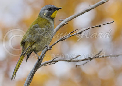 Yellow-throated Honeyeater YTHE1