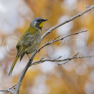 Yellow-throated Honeyeater birds in Tasmania