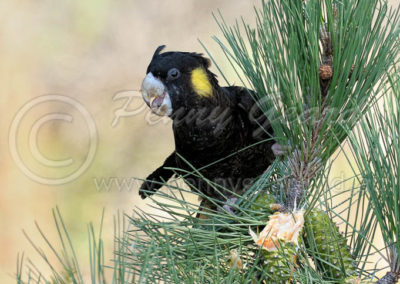 Yellow-tailed Black-cockatoo YTBC4