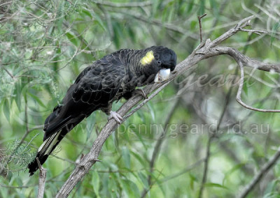 Yellow-tailed Black-cockatoo YTBC3