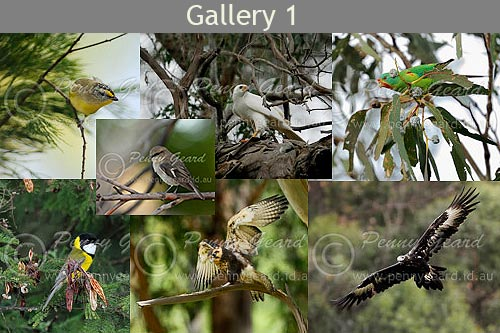 birds in Tasmania Gallery 1