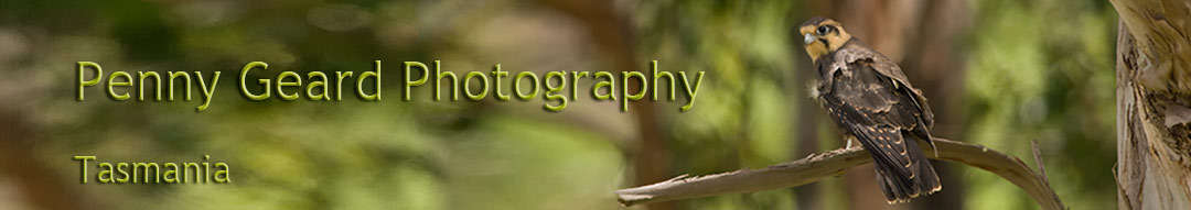 bird photography in Tasmania