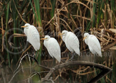 Cattle Egret CE1