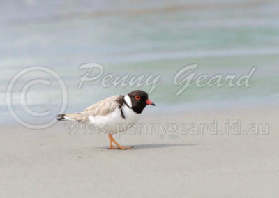 Hooded Plover HP1