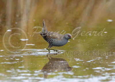 Spotted Crake SC1
