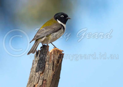 Black-headed Honeyeater BHHE 2