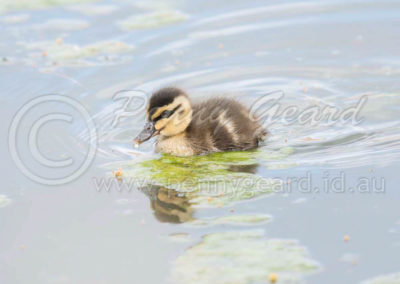 Pacific Black Duckling PBD1