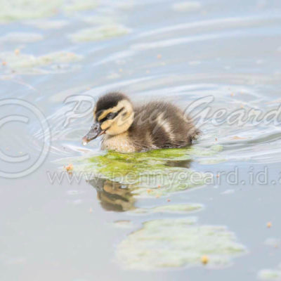 Pacific Black Duckling