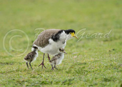 Spurwing Plover and Chicks SWP1