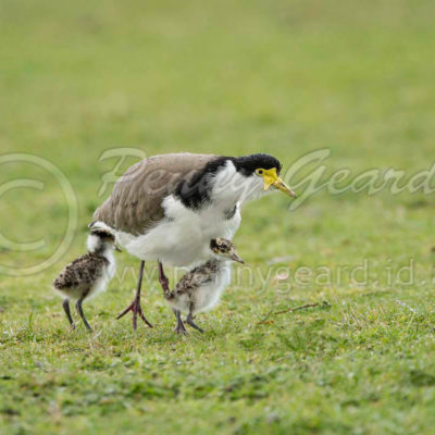Spurwing Plover and Chicks