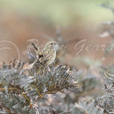 Striated Fieldwren